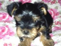 AKC female Yorkie puppy, she will be 8 weeks old Oct