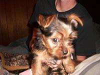 I have an AKC yorkie young puppy born on 7-25-2014. She