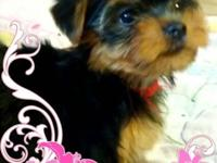 AKC female yorkie young puppy. This priceless pup is 9