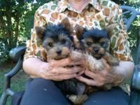 I have two AKC yorkie females for sale. Dad is 2 1/2