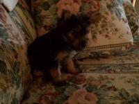 We have 3 female Akc Yorkie pups that where born on the