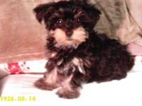 12 week old AKC Female Yorkshire Terrier. She is UTD on