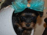 BABY IS A 12 YEAR OLD AKC FEMALE BEAUTIFUL YORKIE. SHE