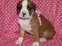 AKC Champion Bloodline Boxer female, Flashy Fawn. Born