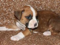 AKC Champion Bloodline Boxer, Flashy Fawn Male. Born