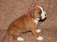 AKC Champion Bloodline Boxer, Flashy Fawn Male with a