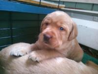 Sylvia is a beautiful Yellow, AKC registered, female