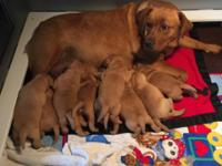 AKC English fox-red Labrador Retriever pups. Beautiful,