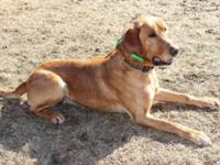 Max is a 9 yr old Fox red male lab looking for a inside