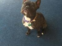 I have a one years of age AKC French Bulldog. She's an