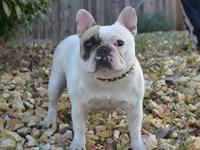 I have a six month old french bulldog puppy his color