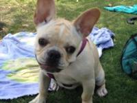 Beautiful pure-bred apricot/cream pied frenchie- rare