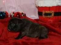 Meet Bentley our Adorable AKC Registered brindle French
