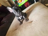 2 male akc french bulldog puppies ready for their new