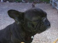 I have a female cream frenchie for sale. She was the
