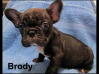 Brody is a nice AKC registered French Bulldog. He has a