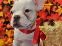 AKC French Bulldog. All white with a tan patch around