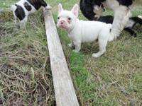 French bulldogs males and females over to 3 months old.