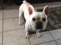 AKC French Bulldog for sale. He is three years old,