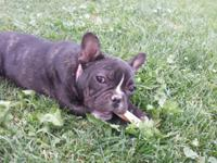 AKC registered female french bulldog for sale. She is