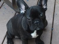 This very sweet Frenchie female pup needs a new home.