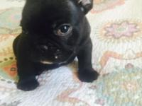 Gorgeous brindle male french bulldog. Champion