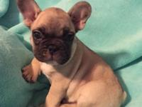 Male blue carrier French Bulldog We have a stunning