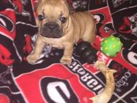 AKC French Bulldog 5 weeks old on born on 9/1 Parents