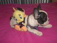 Our French Bulldogs are pure breed AKC Registered. This
