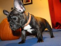 We have a beautiful AKC blue carrier french bulldog.