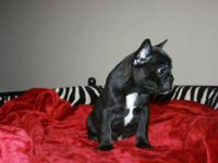 Bentley is a AKC Registered, 9 week old french Bulldog,