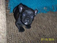 AKC Full Reg. Brindle Male French Bulldog $1800 with