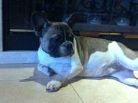 AKC,FRENCH BULLDOG FEMALE ,7 MONTHS OLD TESTED POSITIVE