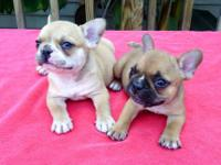 AKC Registered French Bulldog puppies. 11 weeks old.
