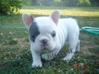 Akc 3 year old french bulldog female. about 23 lbs, had