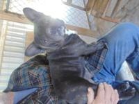 AKC Female French Bulldog a stunning tiny Black female.