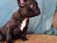 Akc French Bulldog Brindle Female. UTD Vacs, Wormed and