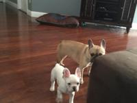 31/2 month old female French bulldog. she will