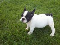 AKC french bulldog male he will be big when hes full