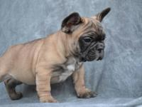 Baron is excellent quality french bulldog male, one of