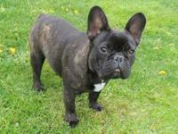 AKC Male French Bulldog Available. 2 years old.