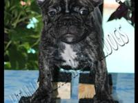 We have one beautiful Male frenchie available. He has a
