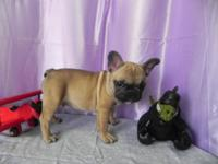 AKC FRENCH BULLDOG MALE, FAWN WITH MASK / BLUE CARRIER.