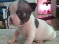 This little guy is AKC registered, (will come with FULL