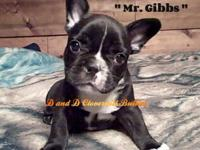 Mr. Gibbs is brindle with white markings. He is very