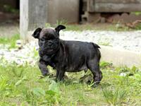 Beautiful AKC French Bulldog puppy. Great temperament.
