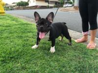 Akc French bulldog he is a Black and Tan that carries