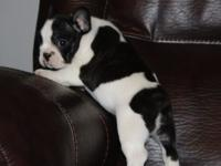 Gorgeous brindle pied boy ready to go now. Date of