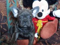 SULLIVAN: $2495 buddy offer, AKC French Bulldog, male,