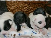 AKC French Bulldog Puppies- BLUE CARRIERS We have a